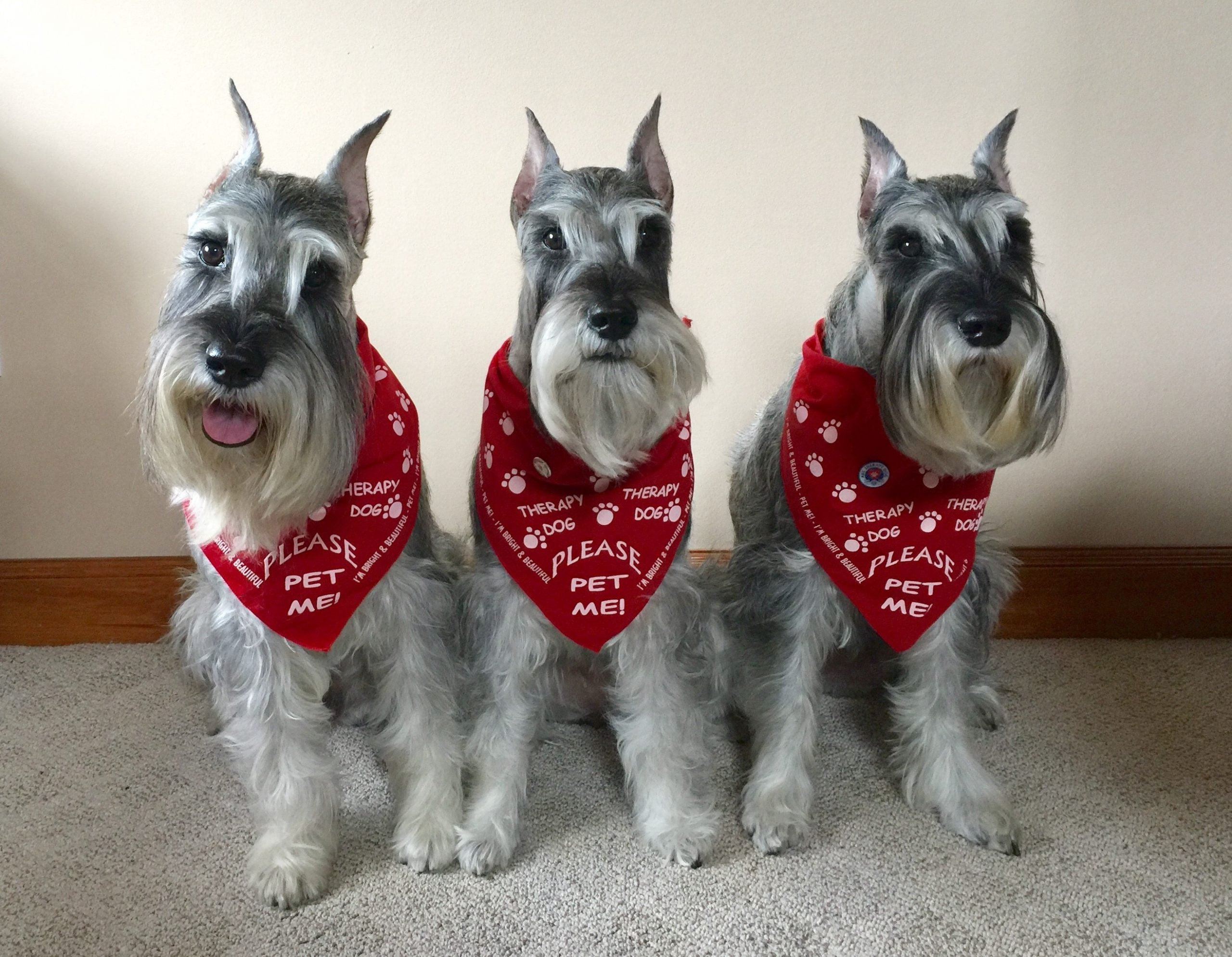 Bright Beautiful Therapy Dogs Therapy Dogs Training Certification
